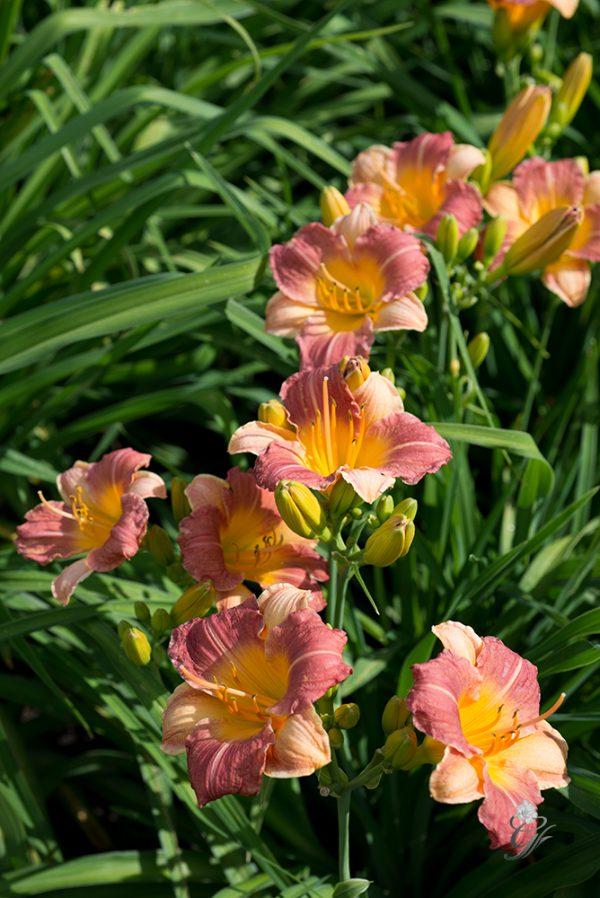 Prairie-Blossoms
